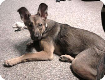 German Shepherd Dog/Shepherd (Unknown Type) Mix Puppy for adoption in North Olmsted, Ohio - Sahara