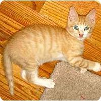 Adopt A Pet :: Cheeto - New York, NY
