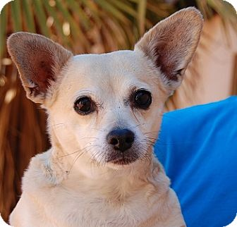 Chihuahua Mix Dog for adoption in Las Vegas, Nevada - Maggie Mae