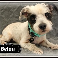 Shih Tzu/Standard Schnauzer Mix Dog for adoption in Missouri City, Texas - Belou