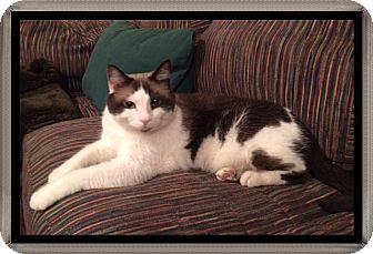 Siamese Cat for adoption in Mt. Prospect, Illinois - Winston