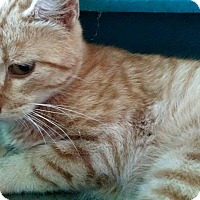 Domestic Shorthair Kitten for adoption in Macomb, Illinois - Yoder