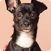 Adopt A Pet :: Munchkin - Gilbert, AZ