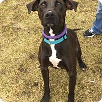 Adopt A Pet :: Paulie - Mt. Pleasant, MI