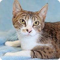 Adopt A Pet :: Triscuit - Encinitas, CA
