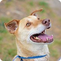 Adopt A Pet :: Buddy - Matthews, NC