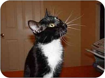 Domestic Shorthair Cat for adoption in Round Rock, Texas - Trixie