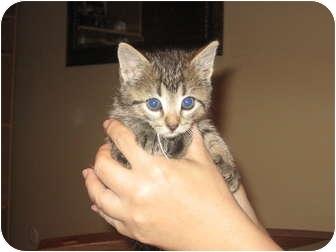 Domestic Shorthair Kitten for adoption in Warminster, Pennsylvania - WE HAVE KITTENS!!