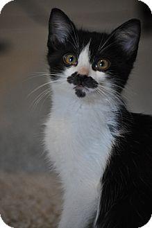 Domestic Mediumhair Kitten for adoption in Modesto, California - Mario