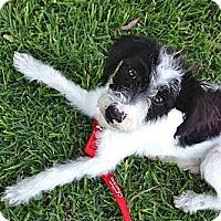 Adopt A Pet :: Domino - Los Angeles, CA