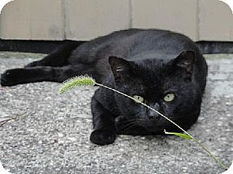 Domestic Shorthair Cat for adoption in Trexlertown, Pennsylvania - Cliff (FIV+)