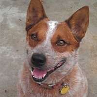 Australian Cattle Dog Dog for adoption in Remus, Michigan - ACD Sr Jack is Back