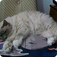 Birman Cat for adoption in Edmonton, Alberta - Cookie