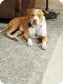 Labrador Retriever/Pit Bull Terrier Mix Dog for adoption in Tampa, Florida - Simba
