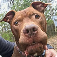 Adopt A Pet :: Spud-Rutherford - Asheville, NC
