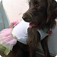 Adopt A Pet :: Leia-adoption pending - Des Moines, IA
