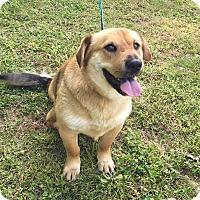 Adopt A Pet :: Nala - Glastonbury, CT