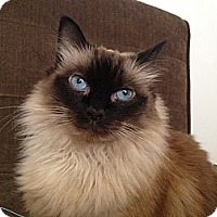 Adopt A Pet :: Phoebe - Beverly Hills, CA