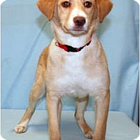 Adopt A Pet :: Honey - Westminster, CO