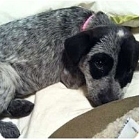 Adopt A Pet :: Josey (adoption pending) - Phoenix, AZ