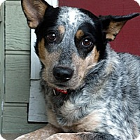 Adopt A Pet :: Presley - Baton Rouge, LA