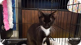 Domestic Shorthair Cat for adoption in Arlington/Ft Worth, Texas - Bentley