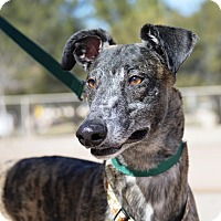 Adopt A Pet :: Maverick - Tucson, AZ