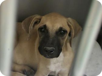 Black Mouth Cur/Hound (Unknown Type) Mix Puppy for adoption in Cleveland, Mississippi - HANSEL
