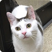 Adopt A Pet :: Curious - Colmar, PA
