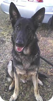 German Shepherd Dog Dog for adoption in Inverness, Florida - Chance