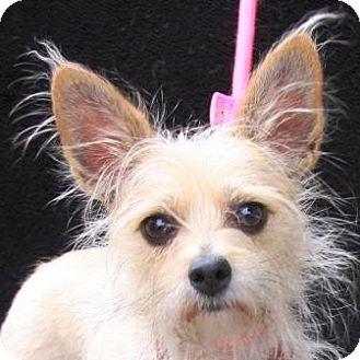 Wirehaired Fox Terrier Mix Dog for adoption in Gilbert, Arizona - Queenie