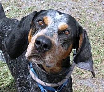 Bluetick Coonhound Mix Dog for adoption in Loxahatchee, Florida - Diego AKA Ricky Lee
