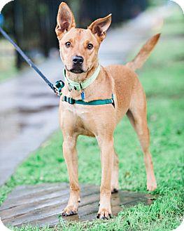 Shepherd (Unknown Type)/Australian Cattle Dog Mix Dog for adoption in Houston, Texas - Zeke