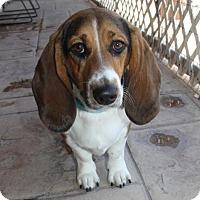 Adopt A Pet :: Skye - Phoenix, AZ