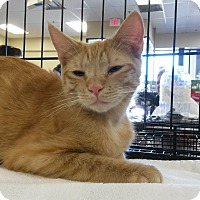 Japanese Bobtail Cat for adoption in Berkeley Hts, New Jersey - Big Red
