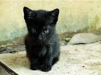 Bombay Kitten for adoption in Sunny Isles Beach, Florida - Dee