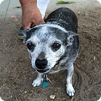Adopt A Pet :: Peanut - El Cajon, CA