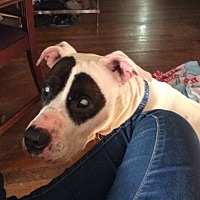 American Pit Bull Terrier/Hound (Unknown Type) Mix Dog for adoption in Shelbyville, Kentucky - Parker (Courtesy Post)