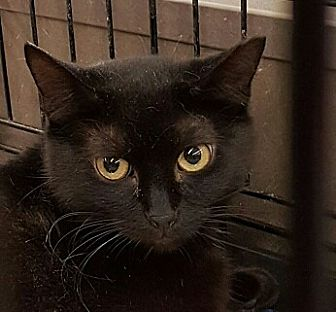 Bombay Cat for adoption in Lyons, Illinois - Kobe