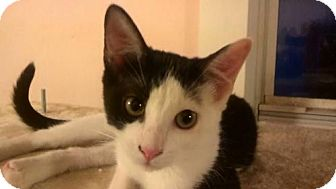 Domestic Shorthair Cat for adoption in Tyler, Texas - AA-Embry