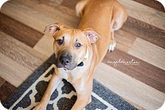 Labrador Retriever/Shepherd (Unknown Type) Mix Dog for adoption in Elon, North Carolina - Chico-adoption pending