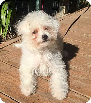Maltese/Poodle (Miniature) Mix Puppy for adoption in Santa Ana, California - Chantilly