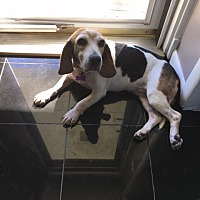 Beagle Mix Dog for adoption in Waldorf, Maryland - Ethel Daviess
