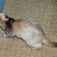Adopt A Pet :: Lana - Acworth, GA