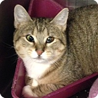 Adopt A Pet :: Scramble - Milton, MA