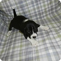 Adopt A Pet :: Abby - Little River, SC