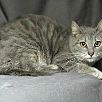 Adopt A Pet :: Greycie - Herndon, VA