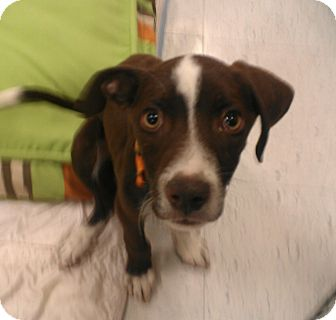 cadbury | Adopted Puppy | Phoenix, AZ | English Pointer ...