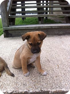 Black Mouth Cur/Boxer Mix Puppy for adoption in Glastonbury, Connecticut - BOBO