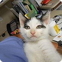 Adopt A Pet :: Tot - Maywood, NJ